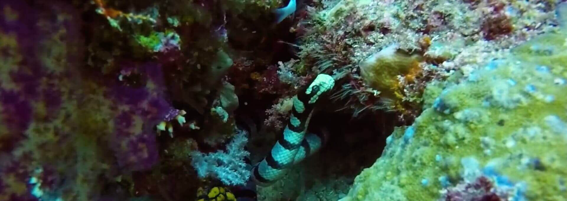 Video Banded Sea Snake Raja Ampat