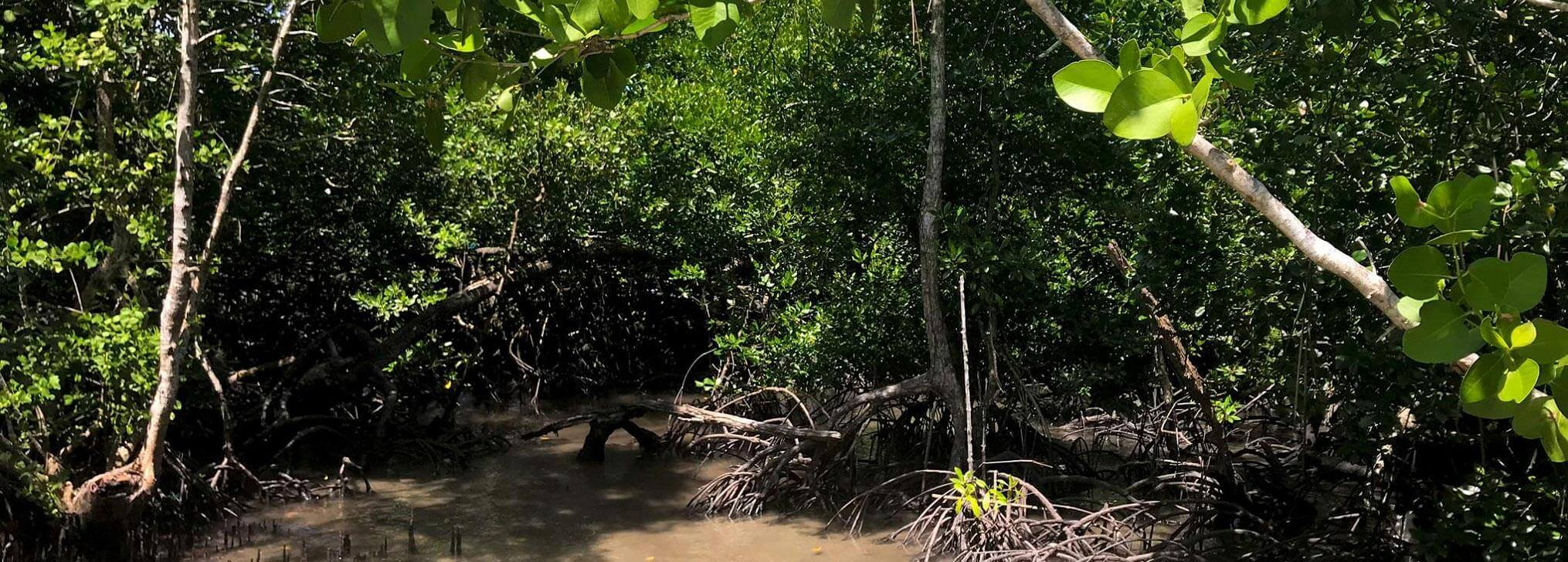 The Well-Rooted Mangroves of Indonesia