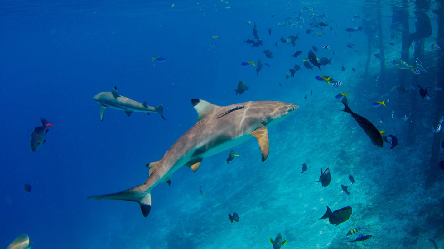 PADI aware shark conservation speciality course