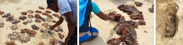 Removal of COTS in Raja Ampat