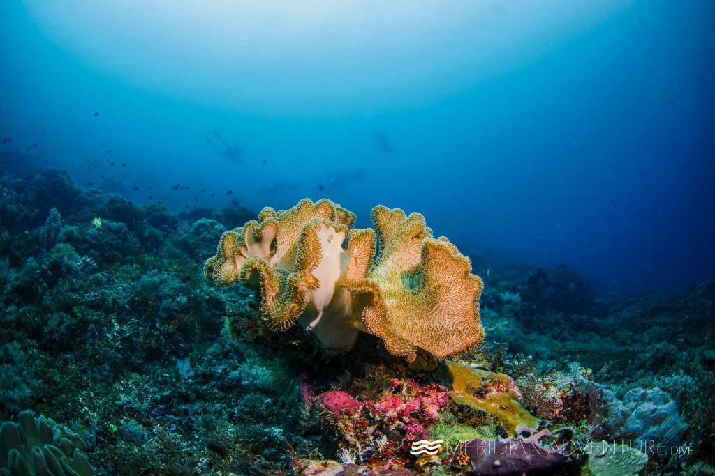 Soft mushroom coral