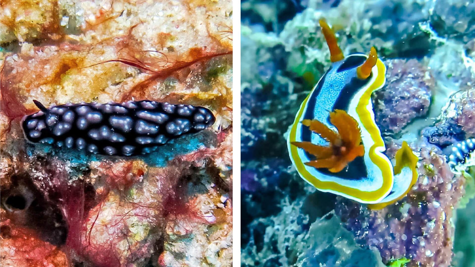 nudibranchs raja ampat