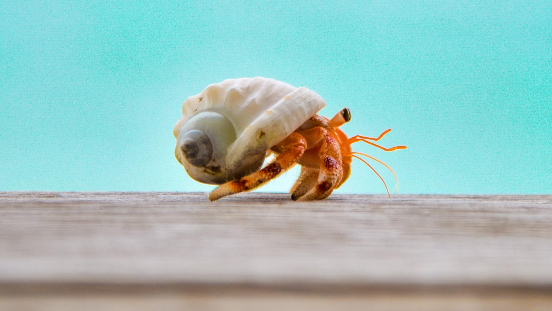 hermit crabs raja ampat