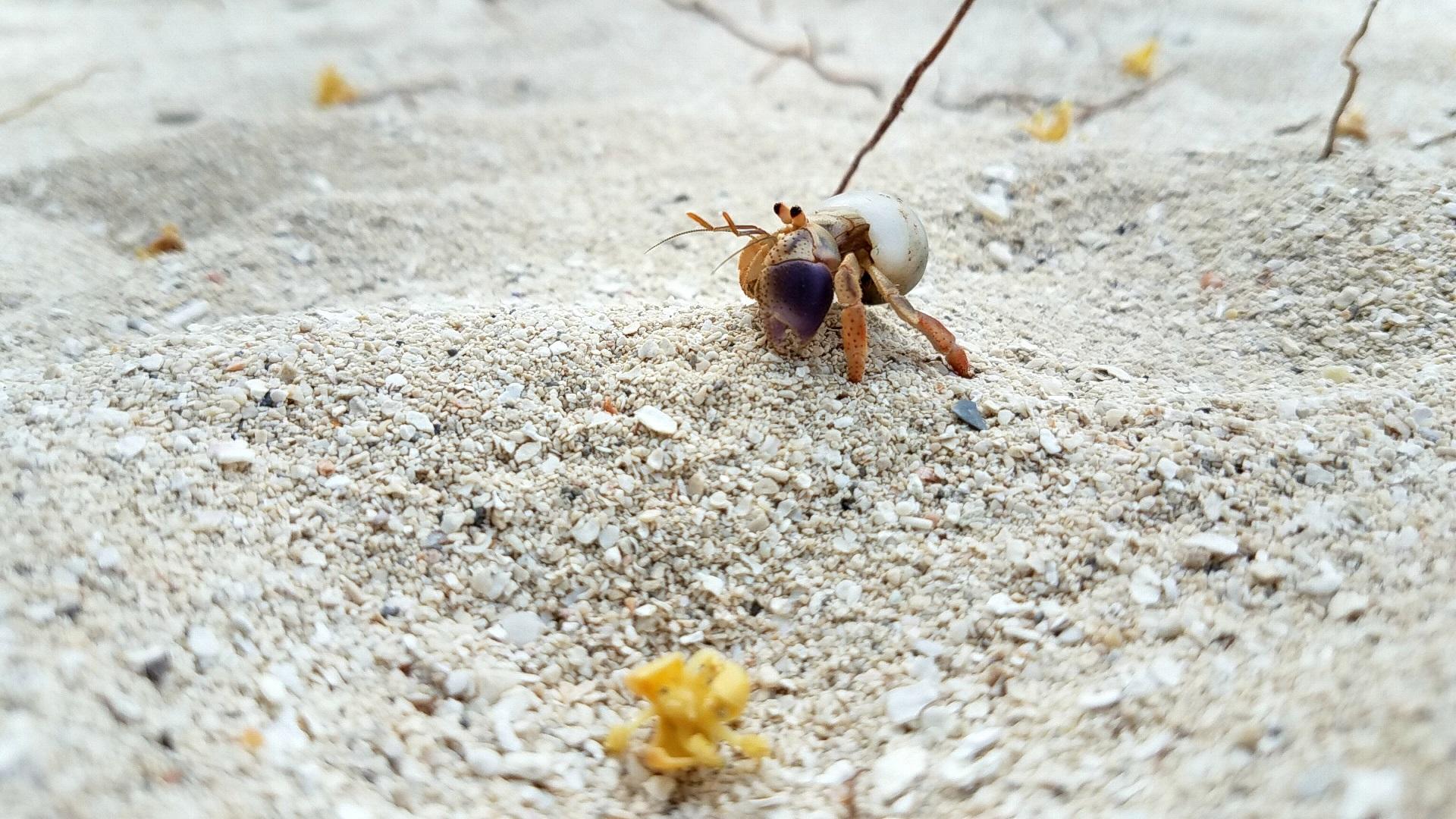 crab raja ampat