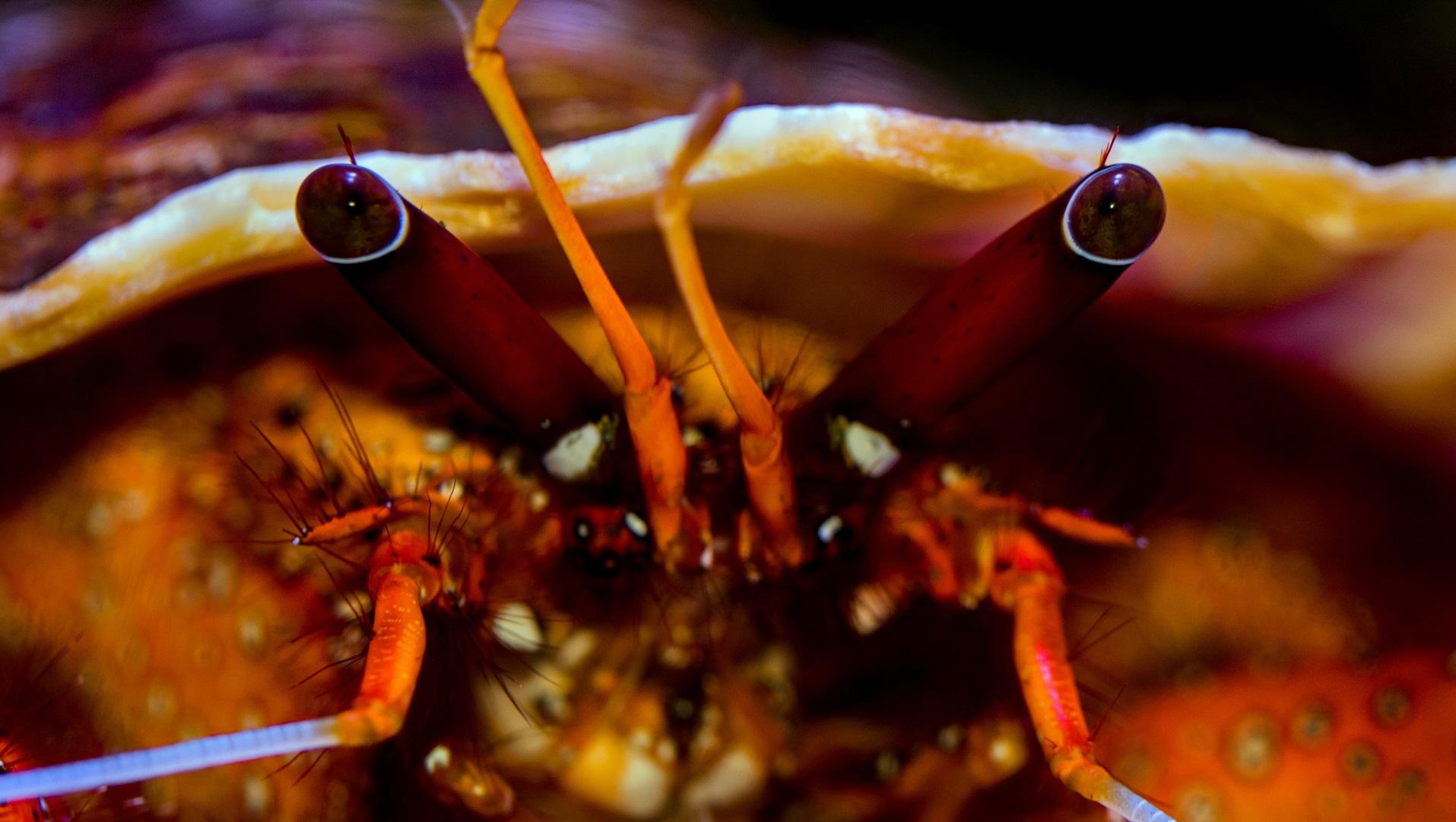 hermit crab eyes