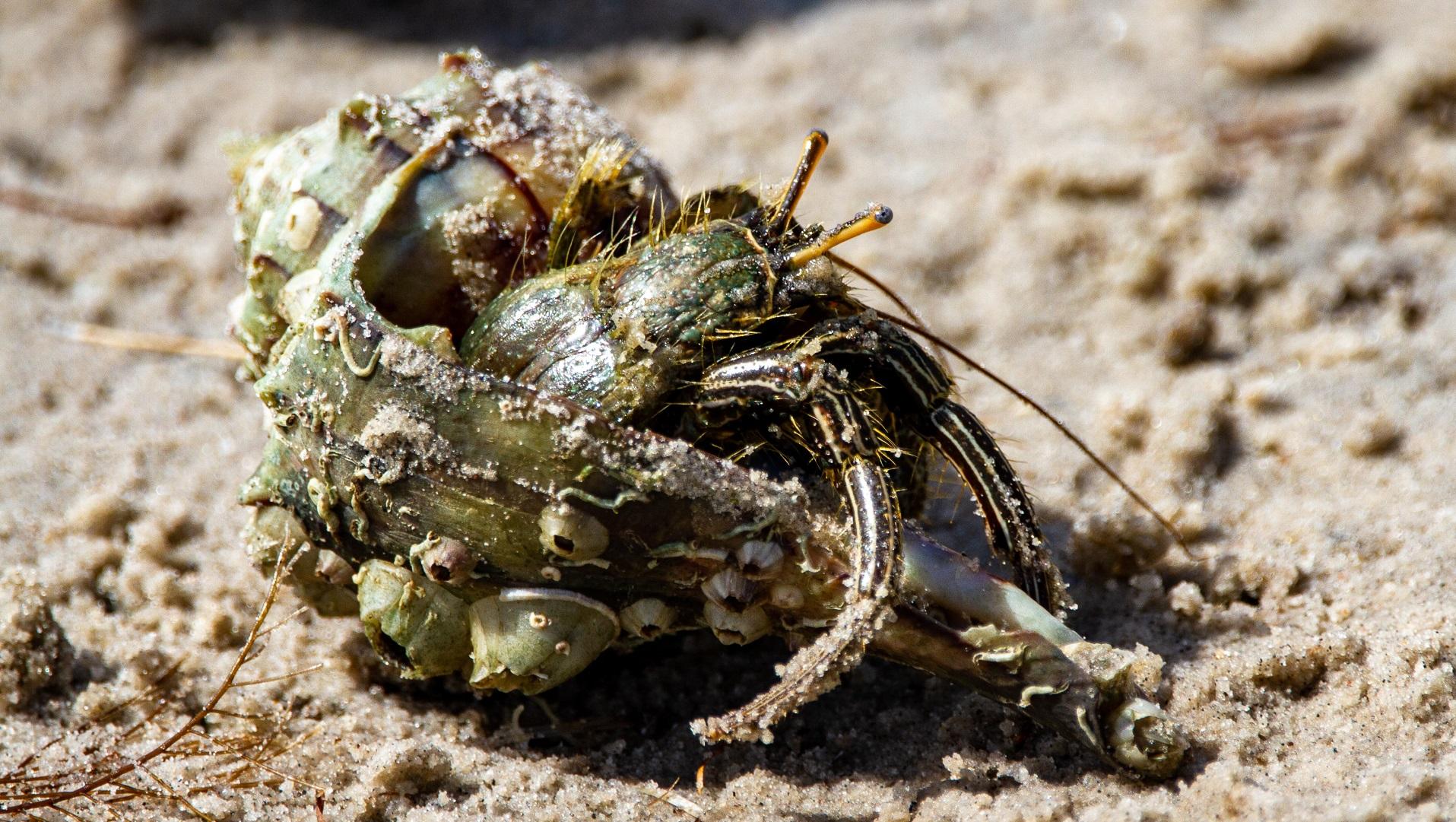 hermit crab indonesia